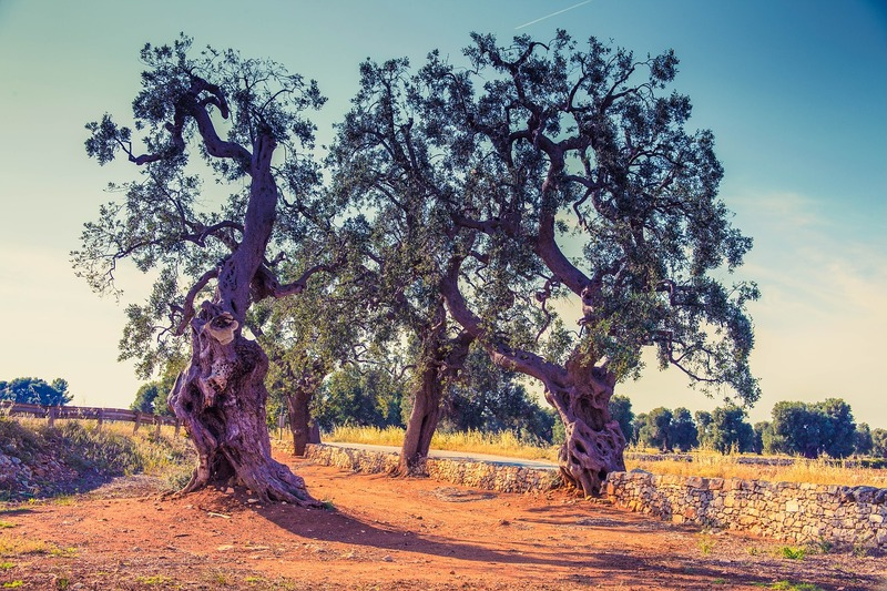 content_olive-trees-3010402_1280.jpg