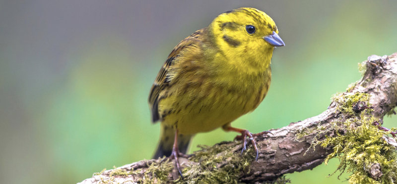 North Pennines Yellowhammer