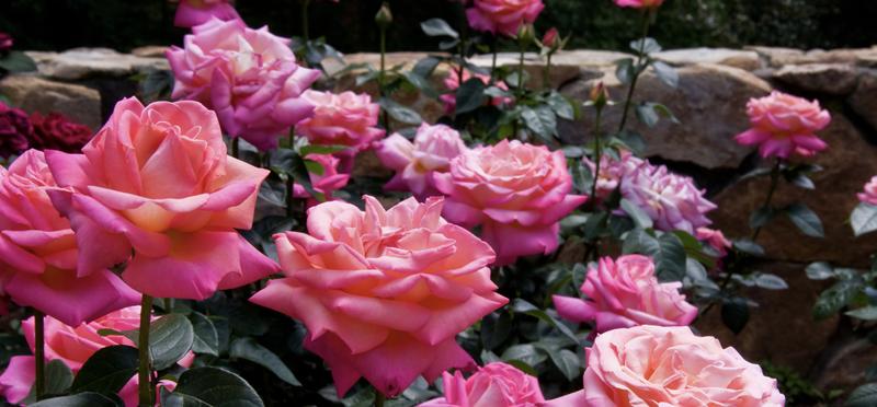 Dartmoor Roses