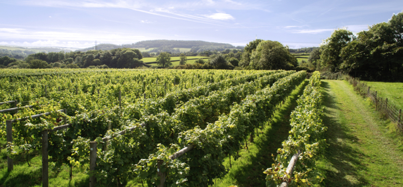 Goboony English Vineyards H2 Grapes Wine Tour England