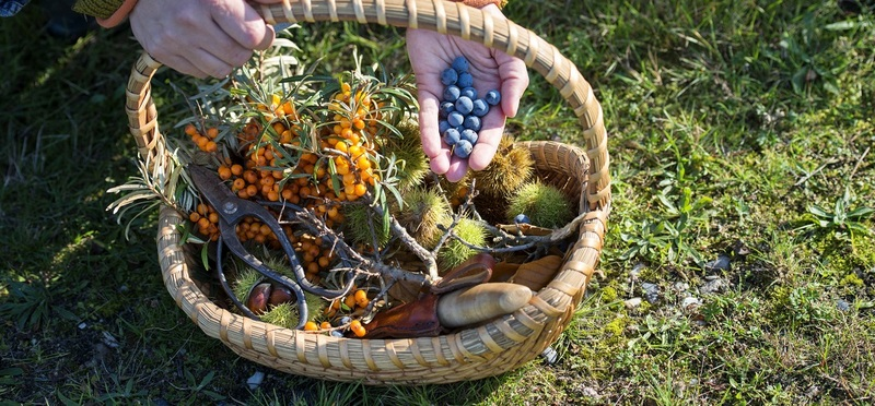 Foraging in the UK H2 Goboony Berries Moss Hands Plants