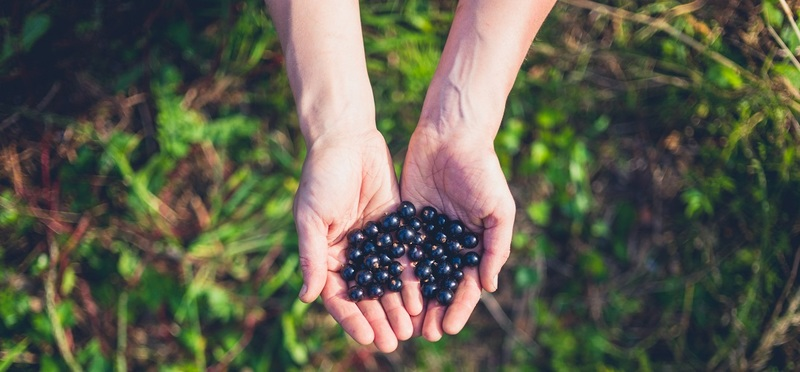 Foraging in the UK H2 Goboony Berries Hands Sun Plants Nature