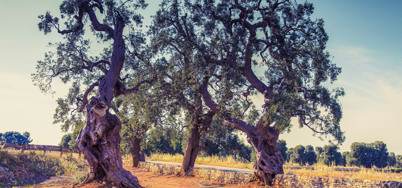 content_Goboony-_Puglia_in_Camper-_Olive_Tree.001.