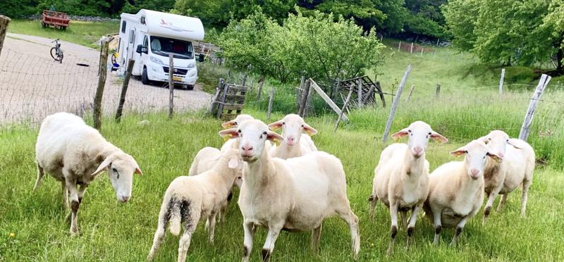 Goboony Lex Saskia Kroatie schapen