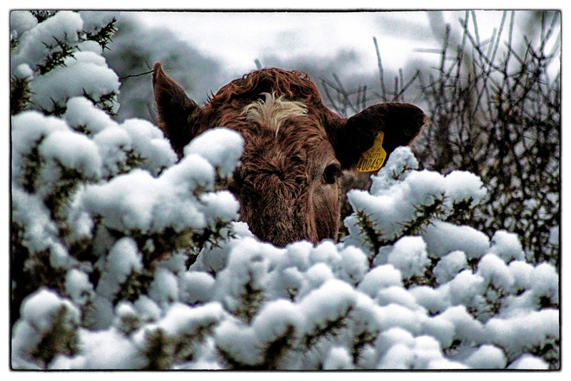 Goboony-blog-England-South-downs-cow-snow